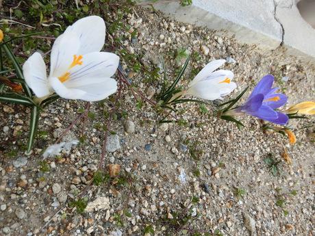 3月クロッカス.JPGのサムネイル画像