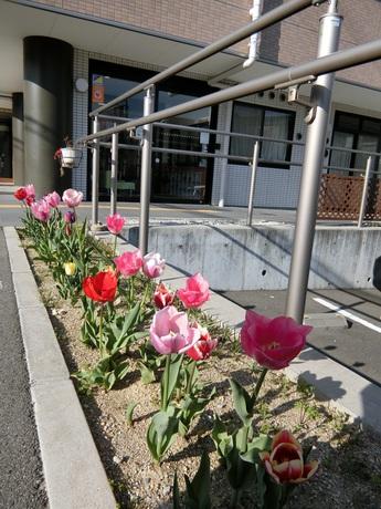 チューリップ花壇.jpg