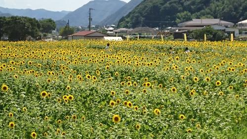 ひまわり畑1.JPG